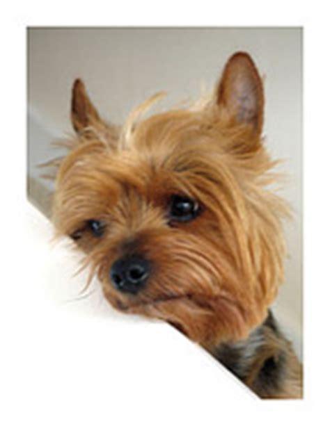 perro yorkie precio cuidados terrier orejas rabo y ojos