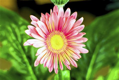 china aster flowers what are growing conditions for china aster plants