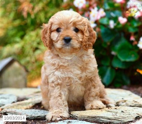 cavapoo puppies for sale in pa 21 best cavapoo images on cavapoo puppies for sale pennsylvania and fur