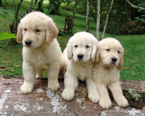 golden retrievers in illinois razze cani golden retriever