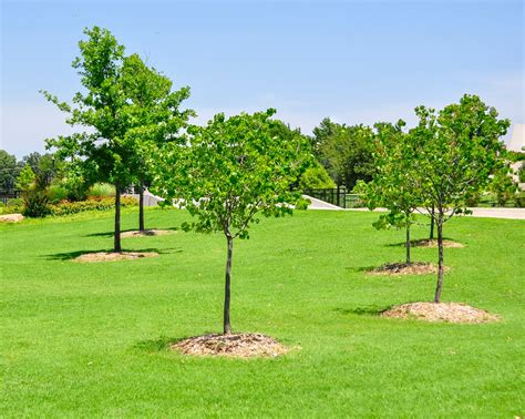 ask a master gardener watering newly planted trees until