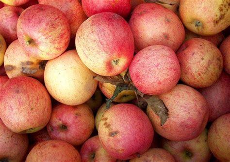 äpfel Alte Sorten 2951 by Apfelsorten F 252 R Wein Most Und Apfelsaft