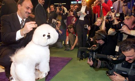 westminster show 2017 winner 19 westminster best in show dogs ranked by cuteness updated with the 2018 winner