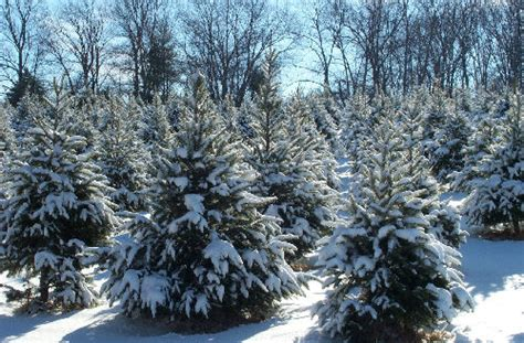 cut your own tree in carrol county md wicklines florist garden center landscaping winter
