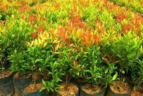 panduan lengkap menanam  budidaya tanaman pucuk merah