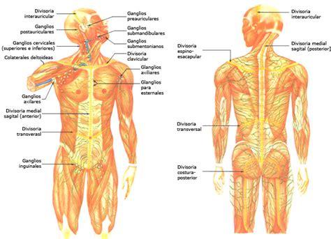 cuales son las cadenas ganglionares del cuello drenaje linfatico mariavillalbaquiromasaje