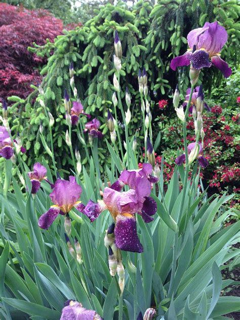 bearded iris gardening and gardens iris bearded siberian and japanese