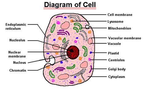 sketch and label a section of the cell membrane labeled blood cells under microscope give the function