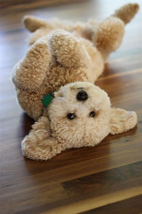 looking for a puppy 23 puppies mistaken for teddy bears