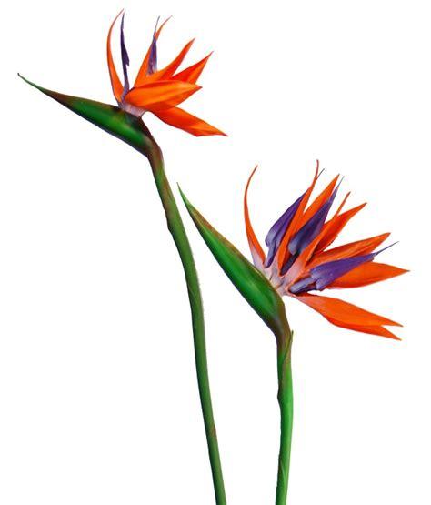 sterlizia fiore fiore tropicale strelitzia grande fiori e
