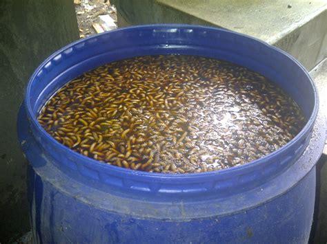 Pakan Ikan Lele Protein Tinggi budidaya maggot belatung sebagai pakanalternatif kopas