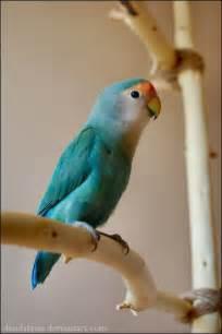 lovebird colors fischer lovebird colors related keywords fischer