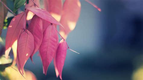 Wallpaper Pink Leaves | pink leaves download hd desktop wallpapers 4k hd