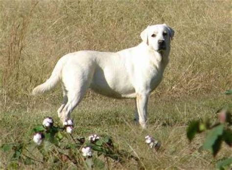 how does the average golden retriever live the labrador retriever pictures 10153 breeds picture