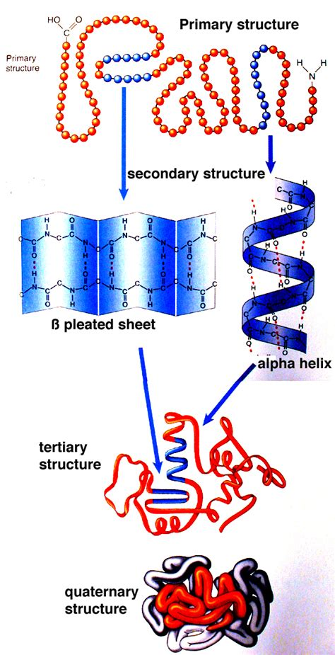 3 protein structure three dimensional protein structure