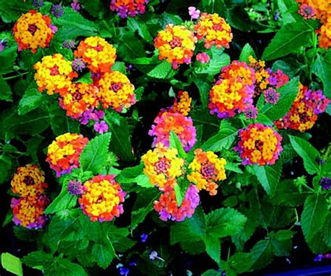 lantana colors lovely lantana flowers