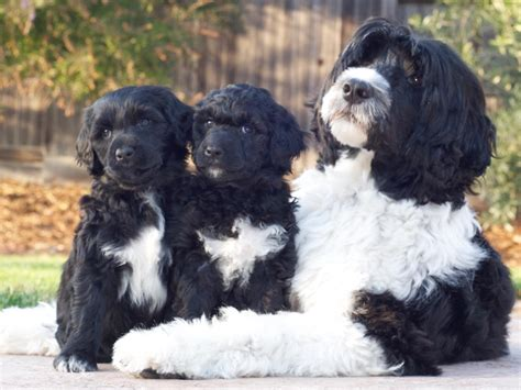 portuguese water puppies surfari portuguese water dogs breeders elk grove ca