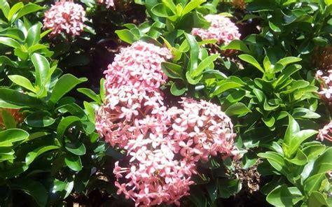 merawat tanaman bunga asoka tukangtamanasri