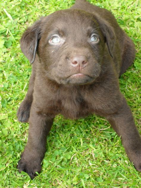 chocolate lab puppies for adoption chocolate lab puppies for adoption driverlayer search engine