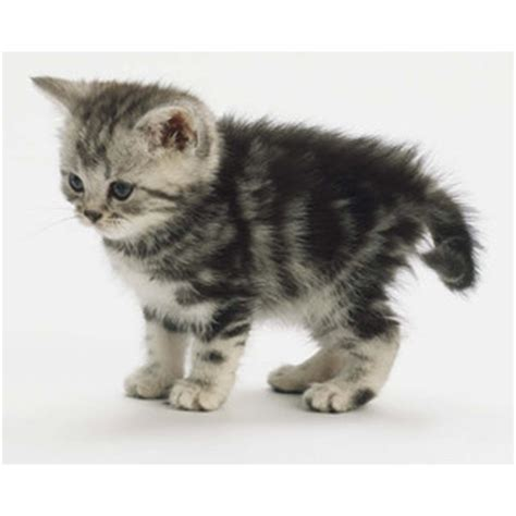 Black and silver tabby kitten   Polyvore