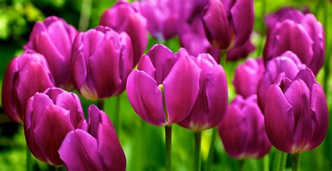 10 facts about tulips garden of eady