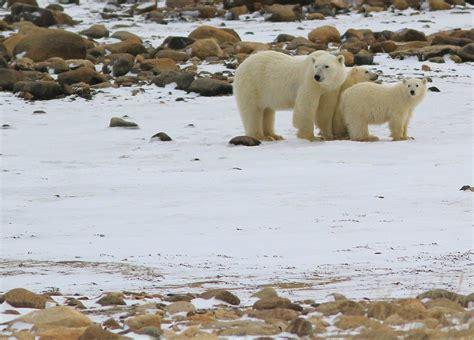 churchill arctic summer churchill polar bears part 7