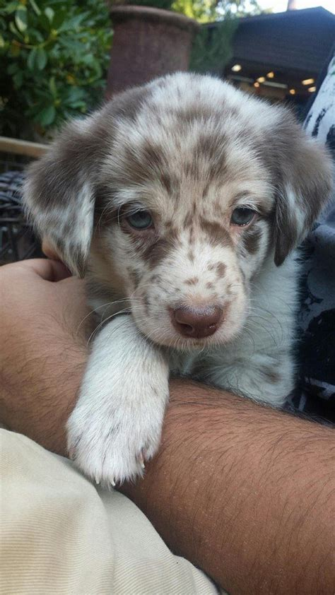 black lab australian shepherd mix puppy aussiedor australian shepherd labrador retriever mix info and pictures