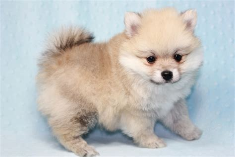 teddy pomeranian teddy teacup pomeranian puppy has found a loving home with kerri from