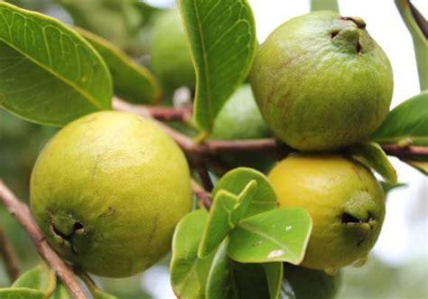 cherry tree yellow fruit cherry guava pod easy edible gardening