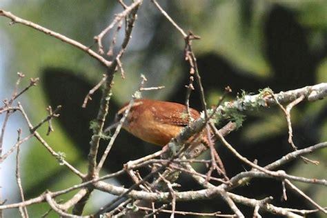 The Watcher In The Pine pine warblers wildlifewatcher s