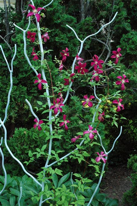 Clematis Viticella Rubra 4179 by Garden A To Z Clematis Types