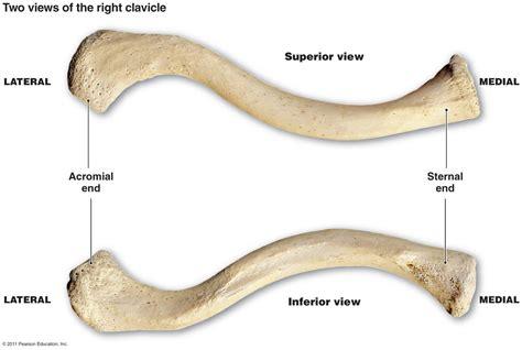 diagram of the clavicle clavicle bone anatomy
