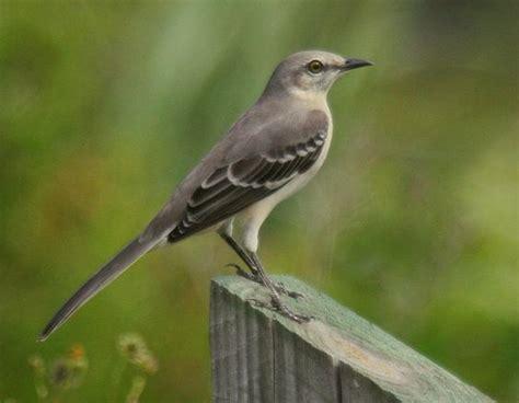 state birds mocking bird florida state bird florida native flora fauna pinterest florida us