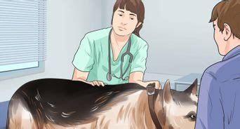 hip dysplasia in rottweilers treatment how to treat dysplasia in rottweilers 13 steps with pictures