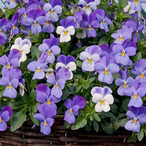 buy 40 plus 20 free large plug plants viola teardrops