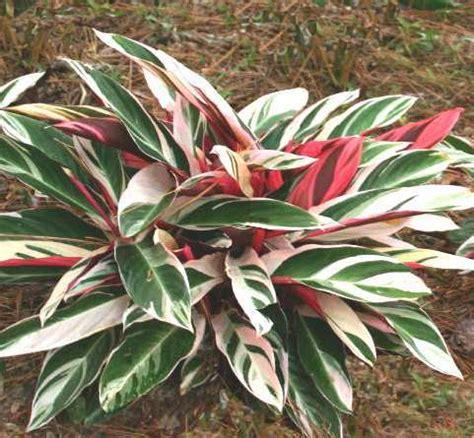 Cura Della Calathea by Stromanthe Marantaceae Coltivazione E Cura Delle