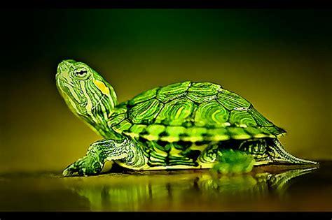 Peliharaan Anakan Kura Kura Baby Turtle 荼莢m艸茯菴 諱log s