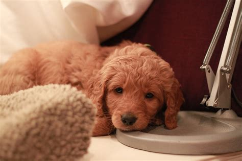 goldendoodle puppy breeders ny goldendoodle breeder ny goldendoodle puppies ny