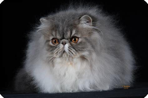 allevamento persiani millebaci persians allevamento gatti persiani