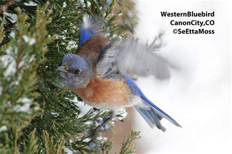 feeding bluebirds birds and blooms