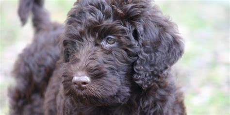 doodle puppies for sale ky kentucky labradoodle goldendoodle puppies for sale