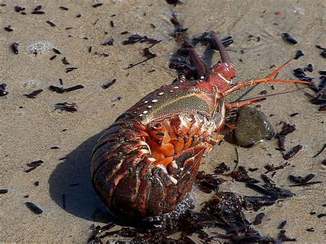 Hummer Aprodhite spiny lobster quot treasures quot memorial library