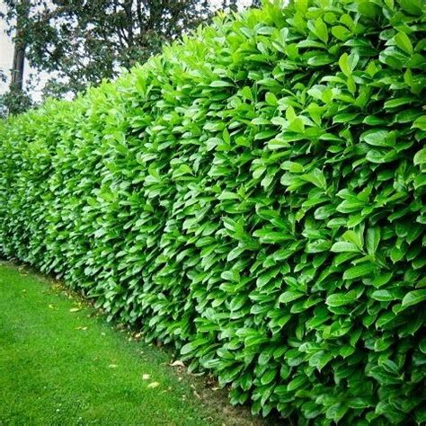 25 best ideas about fast growing trees on pinterest fast growing fast growing plants and