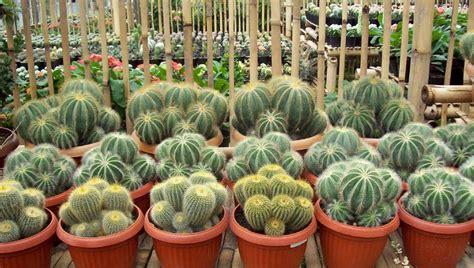 Kaktus Hias Tanpa Media cara sukses menanam dan merawat kaktus hias yang baik dan benar bagi pemula flora dan fauna