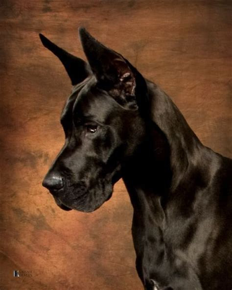 great dane house dog great dane dogs barking beast