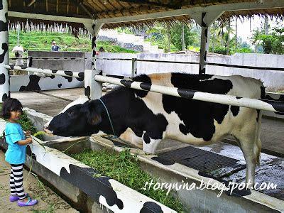 Mainan Sapi Milk Cow By Raja ungaran cimory sausage fresh milk yoghurt live