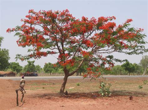 Jual Bibit Jahe Merah Cirebon jual pohon flamboyan harga murah
