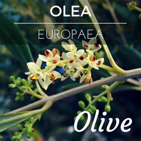 olive fiori di bach olive fiore di bach per chi ha sofferto molto nel corpo