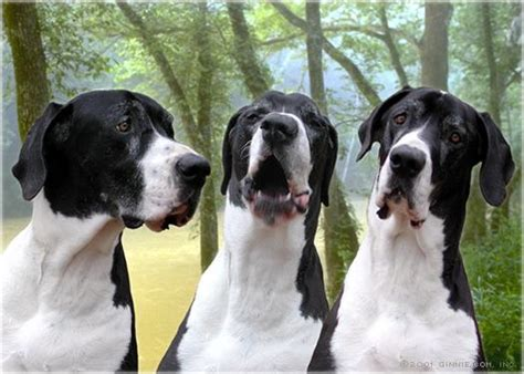 great dane puppies for sale in pa great danes for sale in california breeds picture