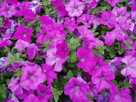 Wave And Flower petunia wave 174 lavender f1 all america selections